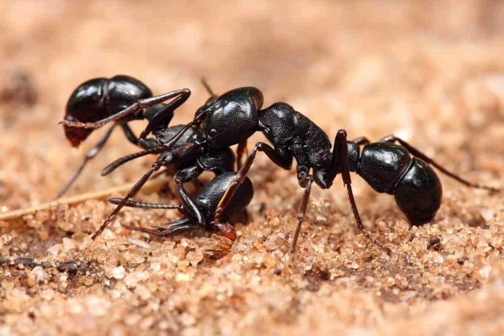ants abilities