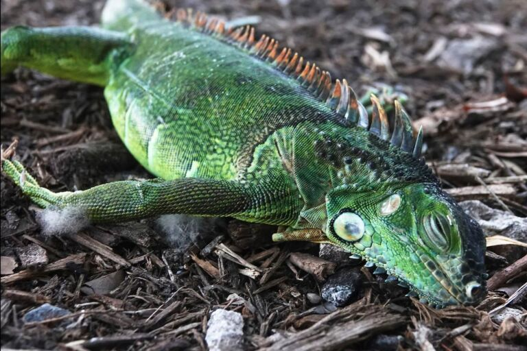 Florida Cold Weather Leads To Falling Iguana Alert