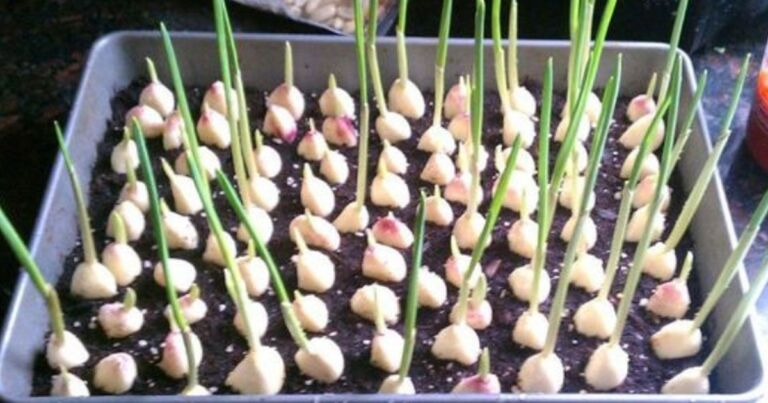 A Proper Guide On How To Grow Garlic Indoors