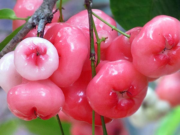 Health Benefits Of Eating Rose Apple Aka White Berries In Summers