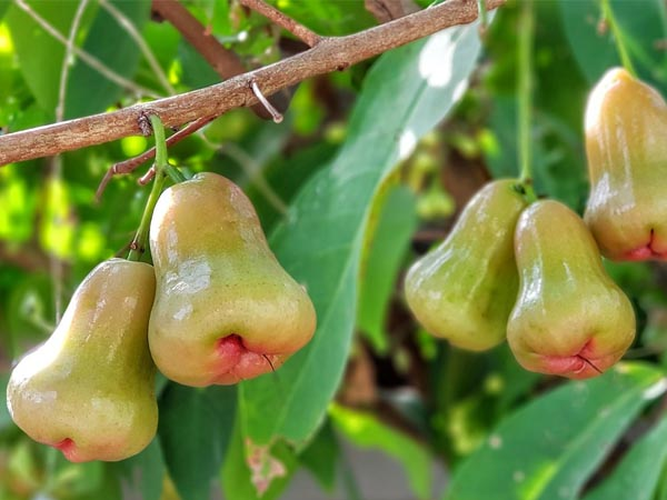 benefits of eating rose apple in summers