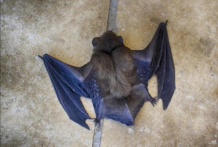 bats death in gorakhpur