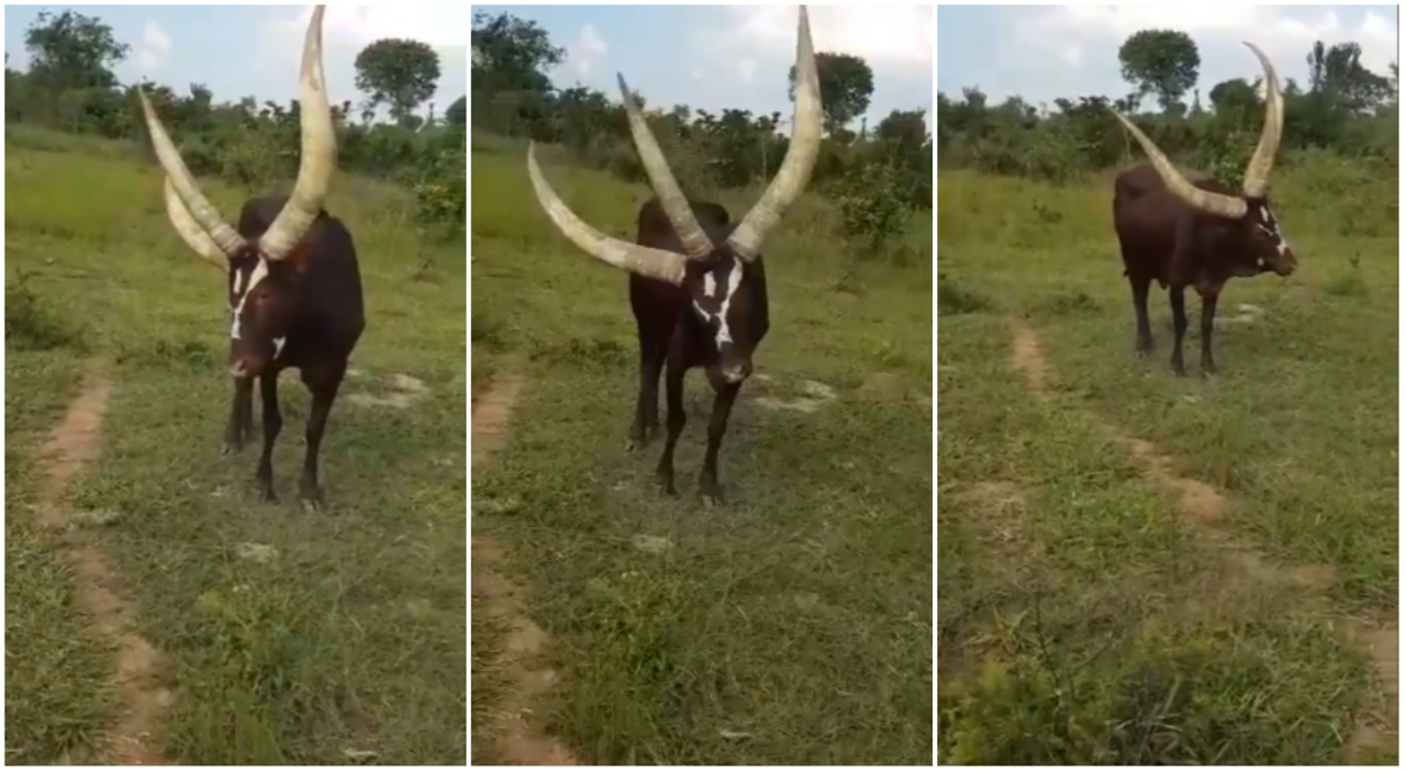 Three horned cow