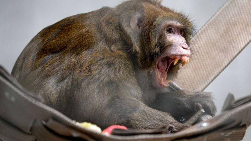 monkey b virus china