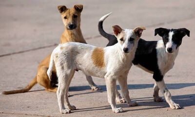 Stray dogs odisha