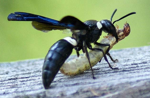 Voodoo Wasps abilities