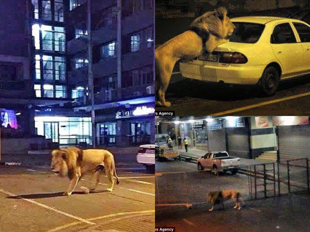 Russia Deployed 800 Lions On Roads So People Can't Go Out ...