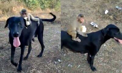 monkey sitting on dog viral video